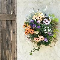 オステオスペルマムのハンギング - さにべるスタッフblog     -Sunny Day's Garden-