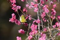 梅にウグイス・梅にメジロ - フォト エチュード  Photo-Etudes