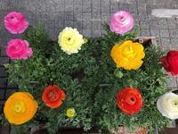 春の花苗入荷しはじめてます。 - 花と暮らす店 木花 Mocca
