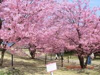 満開の河津桜に満足感 - 家の周りの季節感