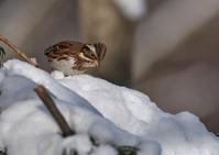 雪の中のカシラダカ - 今日も鳥撮り