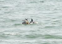 300m沖でウミアイサが集団でディスプレイしてた。 Ⅱ - なんでもブログ