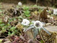 スプリングエフェメラル - 広島県北の自然