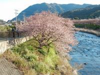 河津桜まつり見頃を迎えています。 - 白壁荘だより  天城百話