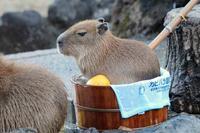 カピバラ温泉~ちびっ子専用「桶風呂」(埼玉県こども動物自然公園) - 続々・動物園ありマス。