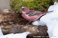 オオマシコ-辛うじて雪マシコ撮れました - 気ままに野鳥観察
