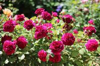 ムンステッドウッドの剪定 - my small garden~sugar plum~