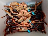 加能蟹を漁師さんからいただきました! - 金沢犀川温泉 川端の湯宿「滝亭」BLOG