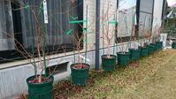 2018年購入鉢植えブルーベリーの初回剪定 - 初めてのブルーベリー栽培記