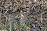 ■タシギが2羽19.2.26 - 舞岡公園の自然2