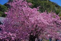 桜物語2019 春その1河津桜 - デザインスタジオ バオバブのスクラップブック