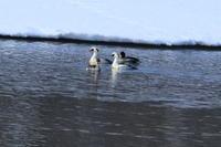 ミコアイサ・・今日のMFの沼で - 今日の鳥さんⅡ