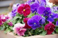 マイガーデンのクリロー花壇 - 季節の風を追いかけて