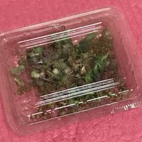 セダムもりもり(൦◟̆◞̆൦)♡‧˚₊*̥ - miiの多肉植物