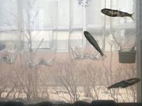 鮭の子どもたち - おさんぽ日記