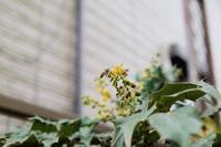 ヒイラギナンテン - お庭のおと