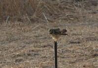 コミミズクその15(飛び出し) - 私の鳥撮り散歩