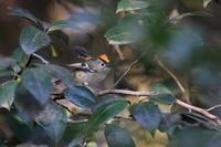 キクイタダキ⑩藪椿の中で - 気まぐれ野鳥写真