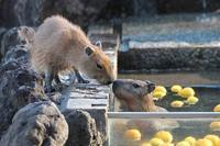 カピバラ温泉と五つ子赤ちゃん~いい湯だな、ぎゅうぎゅう(埼玉県こども動物自然公園) - 続々・動物園ありマス。