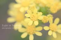 黄色い小花 - Light or Darkness?