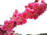 梅のお花とイチゴパフェ - Emily  diary