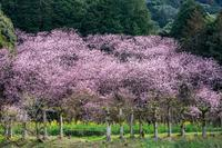 初見代桜 - 撃沈風景写真