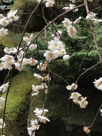 報国寺~江柄天神~鎌倉宮梅巡り - パームツリー越しにgood morning        アロマであなたの今に寄り添うブログ