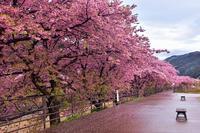 春の訪れ河津桜 - 峰さんの山あるき