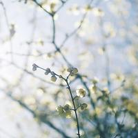 西方寺で老害が蝋梅を愛でる19.02.02 11:59 - スナップ寅さんの「日々是口実」