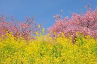 冬なのに春あぐりパーク嵯峨山苑 - エーデルワイスPhoto