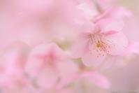 如月の桜 - ひつじ雲日記
