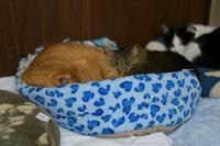 茶トラとキジトラ - Black Cat Moan
