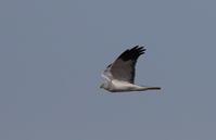 ハイイロチュウヒその24(又もや失態を) - 私の鳥撮り散歩
