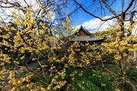 蝋梅と水仙咲く恵心院 - 花景色-K.W.C. PhotoBlog