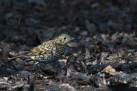 河畔林の冬鳥トラツグミ - 瑞穂の国の野鳥たち