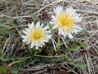 シロバナタンポポ白花蒲公英 - 里山の四季