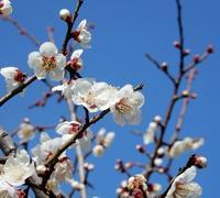 宙と樹のうた(tanka du ciel et de l' arbre) - ももさへづり*やまと編*cent chants d'une chouette (Yamato*Japon)
