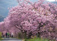サクラ桜さくら - ほほえみ