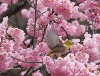 ご近所の緋寒桜~2019@サクジロー - アリスのトリップ