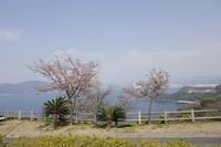 海沿いの河津桜#2 - やさしい風に誘われて
