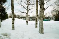 雪の白樺と桜木と絵葉書山形「大淀の春」 - 照片画廊