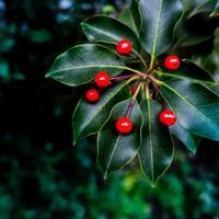 ・red fruits with deep green foliage・ - - Foliage & Blooms'葉と花' pics. -