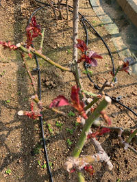 若葉 - 春&ナナと庭の薔薇