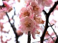 トンボの王国梅の花カルガモ - 江戸さんの野鳥撮り