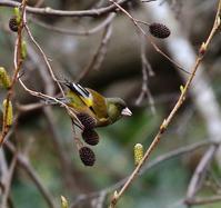 ヤシャブシの実を啄みに・・・ - 一期一会の野鳥たち