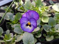 種まきビオラ・パンジーの一番花が咲きました - ヨガと官足法で素敵生活