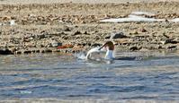 大きなさかなを呑む - barbersanの野鳥観察