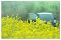 菜の花畑の。 - Yuruyuru Photograph