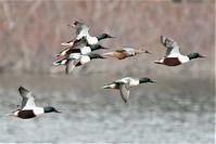 飛翔ハシビロガモさん - 鳥と共に日々是好日