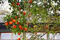 下田伊豆の蜜柑 - 風の香に誘われて 風景のふぉと缶